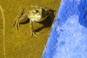 Gelber.Frosch.hellblau